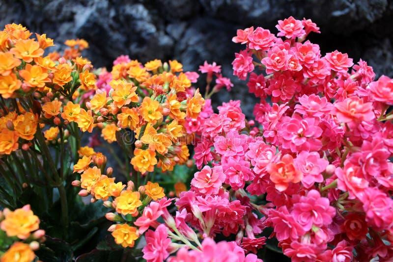 Ramo de flores minúsculas de la planta del kalanchoe foto de archivo libre de regalías