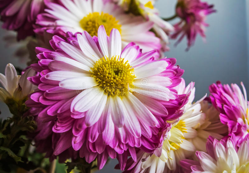 Ramo de flores púrpuras, fondo de la naturaleza foto de archivo libre de regalías