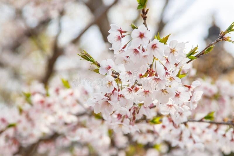 Ramo de flores de Sakura em Japão imagens de stock
