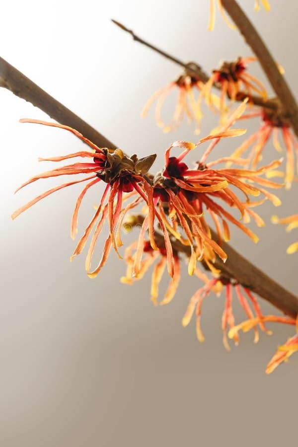 Ramo de florescência alaranjado de uma avelã de bruxa ou de um hamamelis, uma planta medicinal, fundo marrom cinzento com o espaç fotos de stock