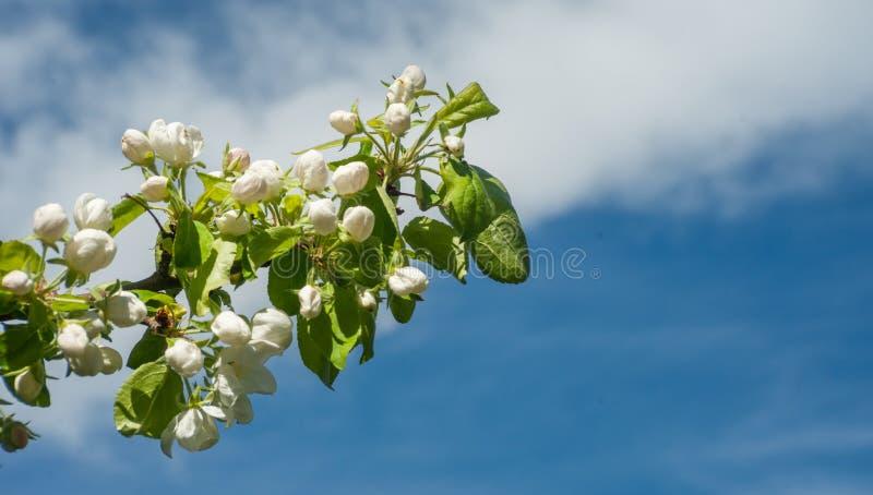 Ramo de florescência de Apple contra o céu - árvore de Apple de florescência foto de stock royalty free