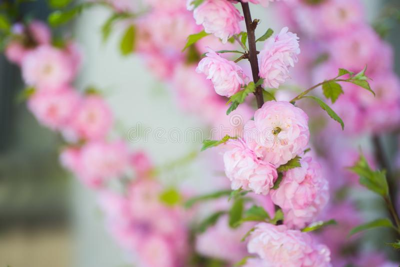 Ramo de florescência bonito com as flores cor-de-rosa macias, espaço da amêndoa da mola do close up da cópia imagens de stock royalty free