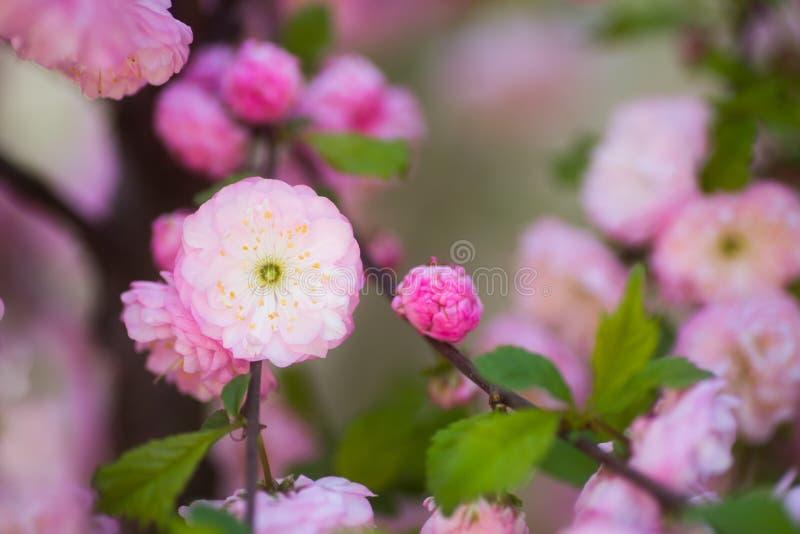 Ramo de florescência bonito com as flores cor-de-rosa macias, espaço da amêndoa da mola do close up da cópia fotografia de stock