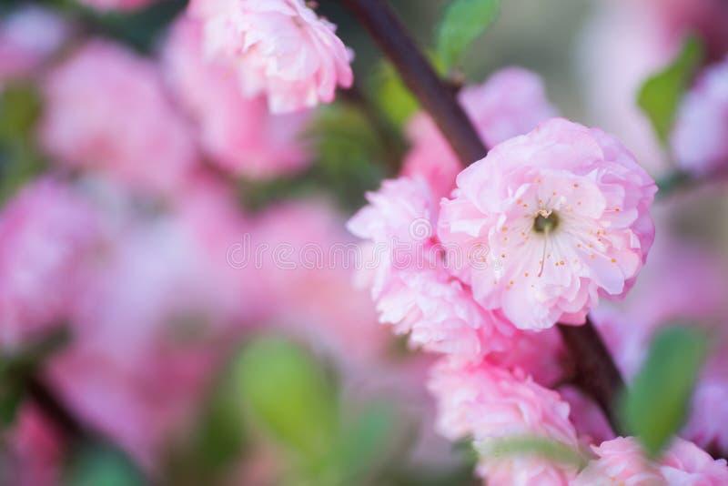 Ramo de florescência bonito com as flores cor-de-rosa macias, espaço da amêndoa da mola do close up da cópia fotografia de stock royalty free