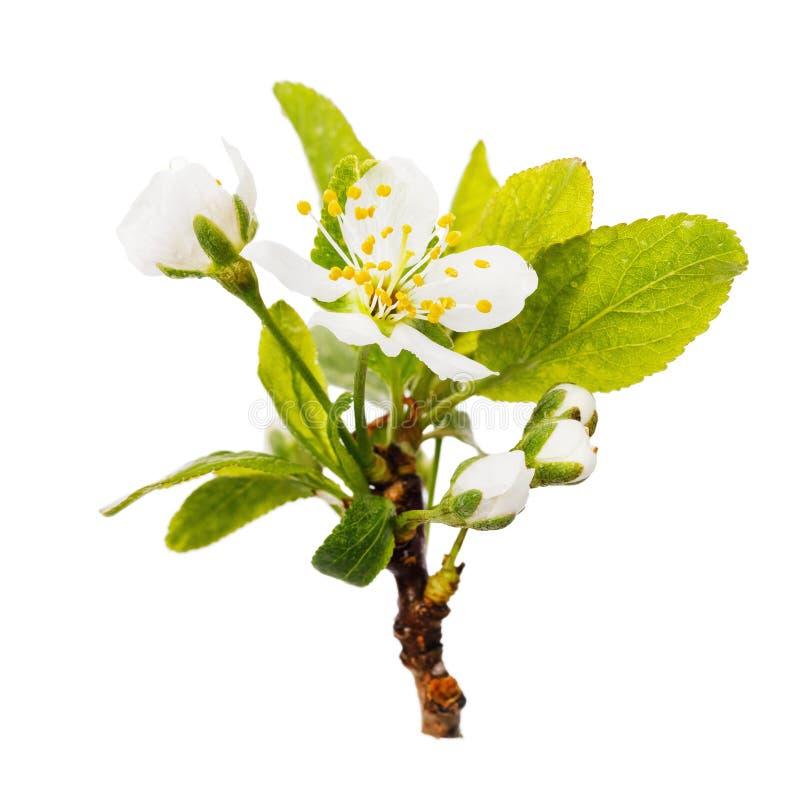 Ramo de florescência bonito da árvore de ameixa isolado foto de stock