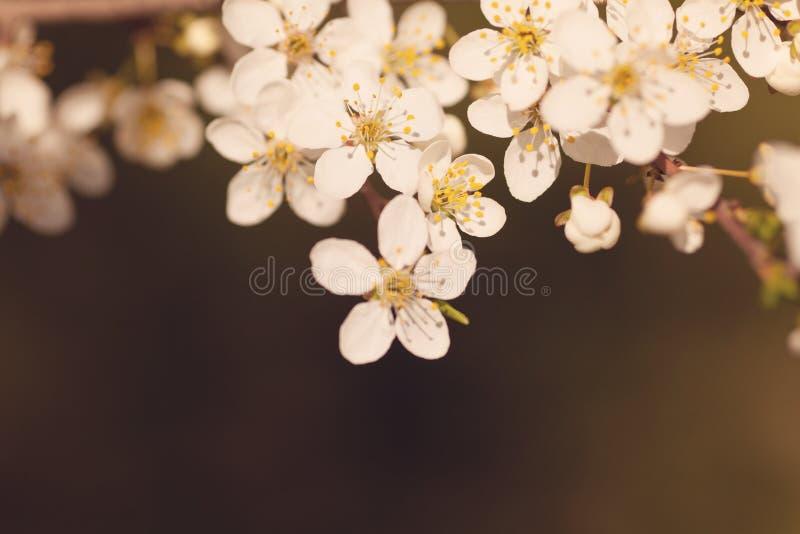 Ramo de florescência com flores brancas imagens de stock