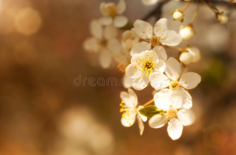 Ramo de florescência com flores brancas fotos de stock royalty free