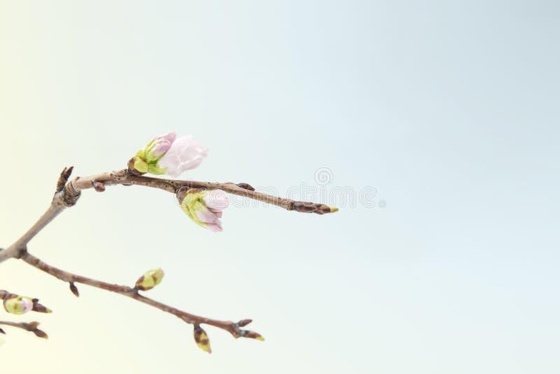 Ramo de florescência da cereja isolado no fundo azul fotos de stock royalty free