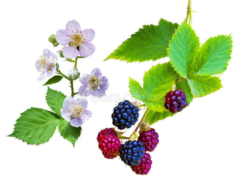 Ramo de florescência da framboesa Flor da morango com isolador das folhas foto de stock royalty free