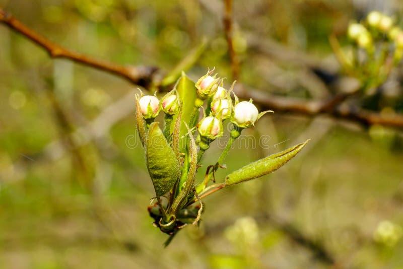 Ramo de florescência da pera com as flores em botão de florescência bonitas e as folhas verdes novas no jardim no dia de mola da  imagens de stock royalty free