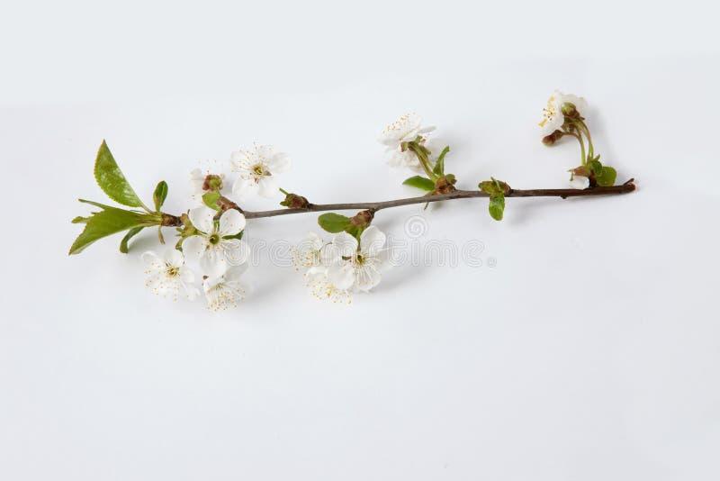 Ramo de florescência de uma árvore da flor de cerejeira imagem de stock royalty free