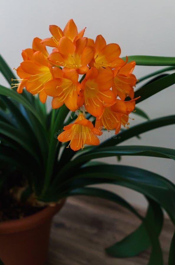 Ramo de florescência de flores alaranjadas do clivia em um potenciômetro de flor foto de stock