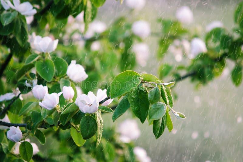 Ramo de florescência na chuva imagens de stock