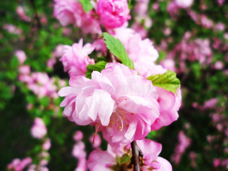 Ramo de florescência perfumado fresco bonito bonito do jardim da árvore de Sakura na primavera imagem de stock royalty free