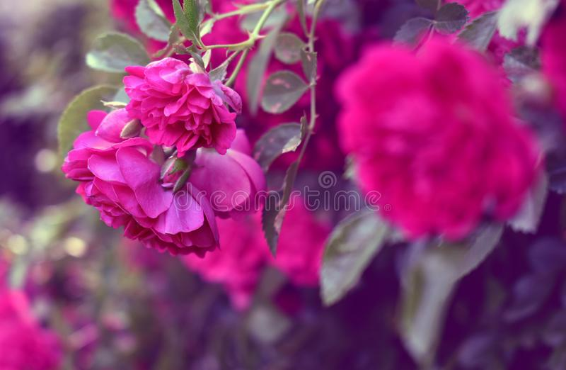 Ramo de florescência de rosas cor-de-rosa foto de stock royalty free