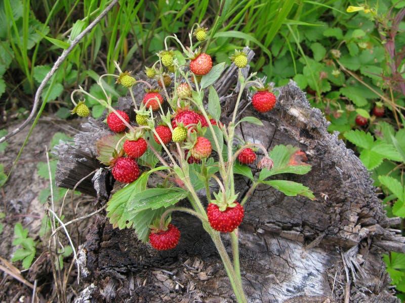 Ramo de fresas en un tocón viejo en el bosque imágenes de archivo libres de regalías