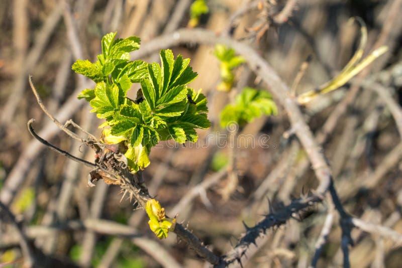 Ramo de galeria com as primeiras folhas verdes fotografia de stock