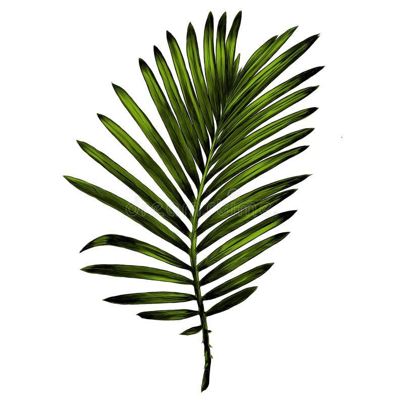 ramo de gráficos de vetor do esboço da palmeira ilustração royalty free