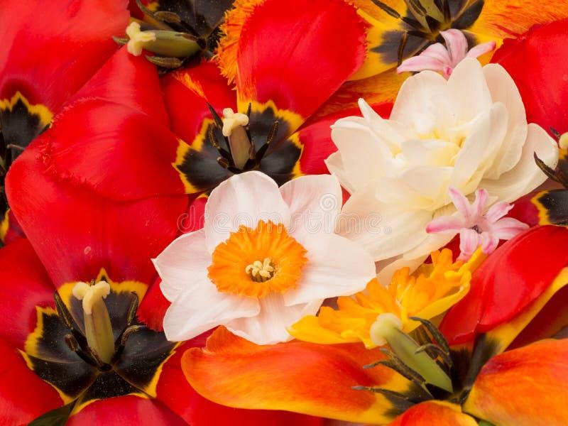 Ramo de la primavera de narcisos y de tulipanes imagenes de archivo