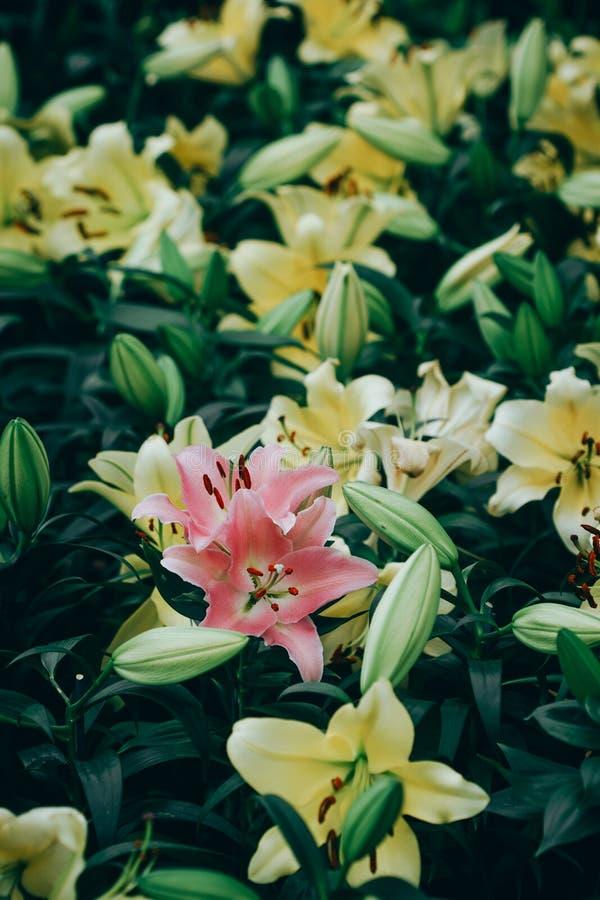 Ramo de las flores de los lirios en el jard?n Apenas llovido encendido imagen de archivo