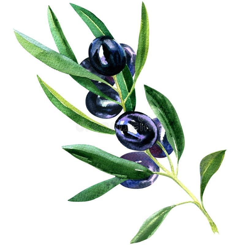 Ramo de oliveira com as azeitonas pretas maduras isoladas, ilustração da aquarela ilustração royalty free