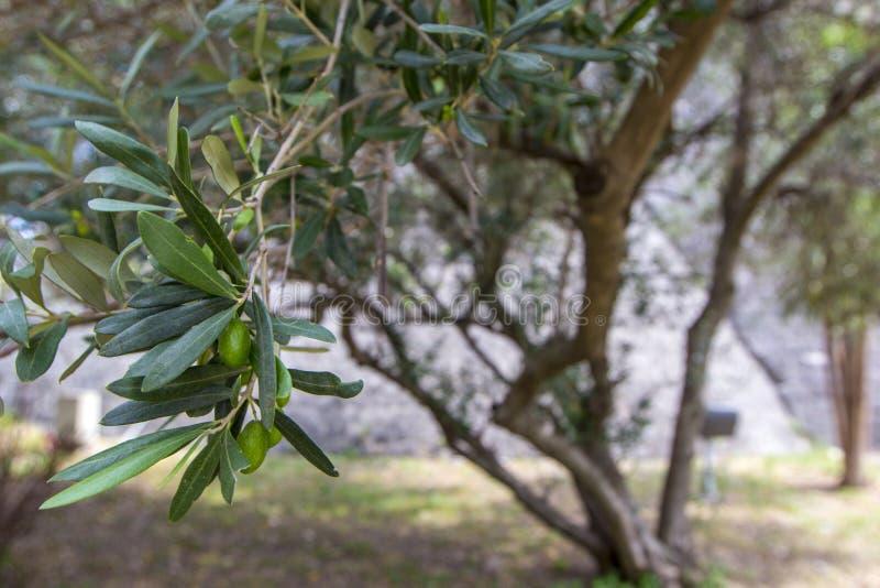 Ramo de oliveira com azeitonas verdes e árvore no dia de verão, foco seletivo fotografia de stock