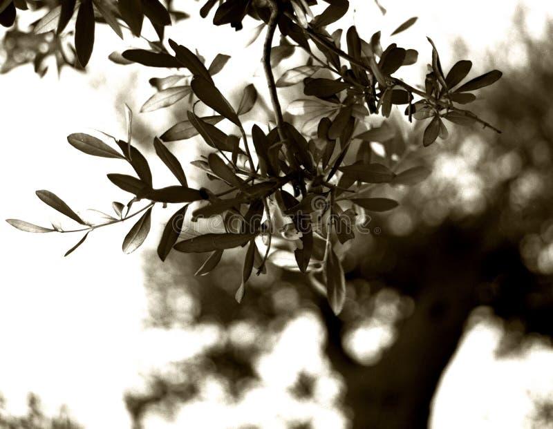 Ramo de oliveira no fundo de uma árvore velha imagem de stock royalty free