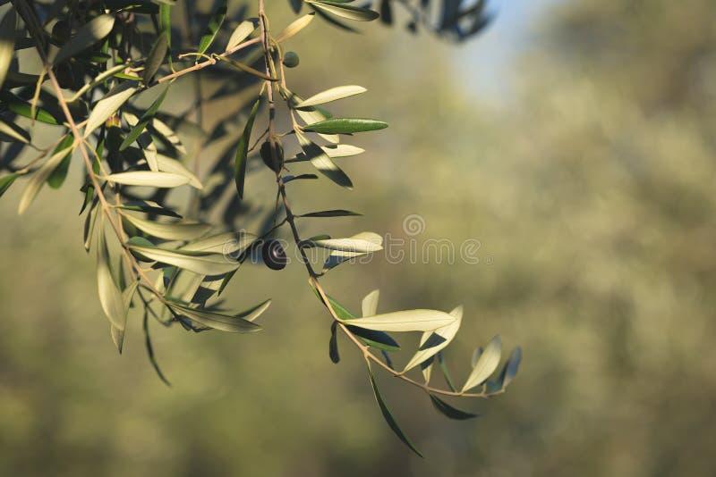 Ramo de oliveira que entrega de cima no jardim verde-oliva Cultivar de Taggiasca ou de Cailletier Foco seletivo, backgroun defocu foto de stock royalty free