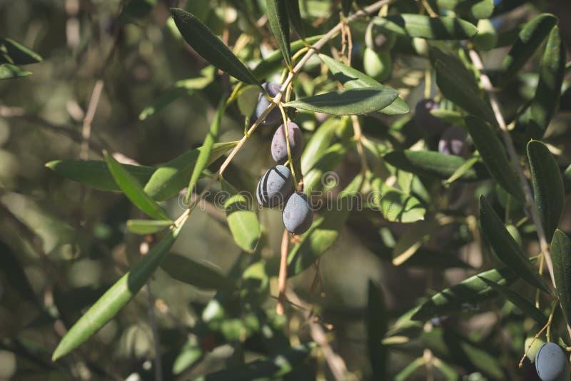 Ramo de oliveira que entrega de cima no jardim verde-oliva Cultivar de Taggiasca ou de Cailletier Foco seletivo, backgroun defocu fotos de stock royalty free