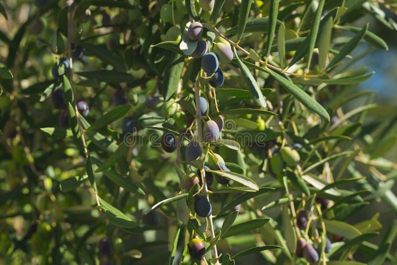 Ramo de oliveira que entrega de cima no jardim verde-oliva Cultivar de Taggiasca ou de Cailletier Foco seletivo, backgroun defocu fotos de stock
