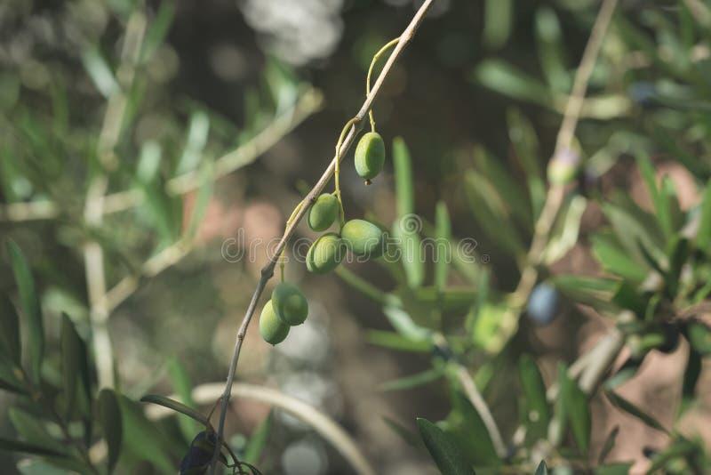 Ramo de oliveira que entrega de cima no jardim verde-oliva Cultivar de Taggiasca ou de Cailletier Foco seletivo, backgroun defocu imagem de stock