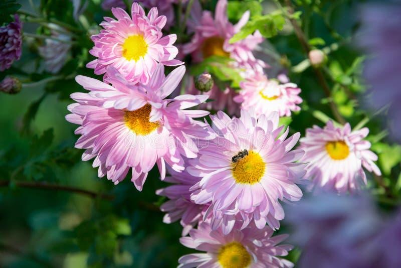 Ramo de pálido - crisântemo cor-de-rosa que cresce no jardim imagens de stock royalty free