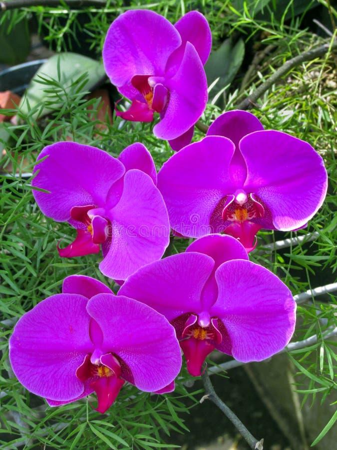 Ramo de Phalaenopsis rosado de la orqu?dea en un fondo de hojas fotografía de archivo