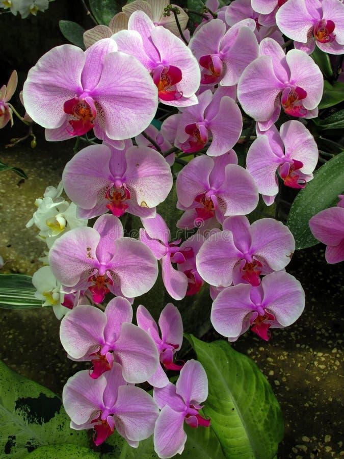 Ramo de Phalaenopsis rosado de la orqu?dea en un fondo de hojas en un jard?n tropical imagenes de archivo