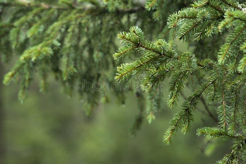 Ramo de pinheiro imagens de stock