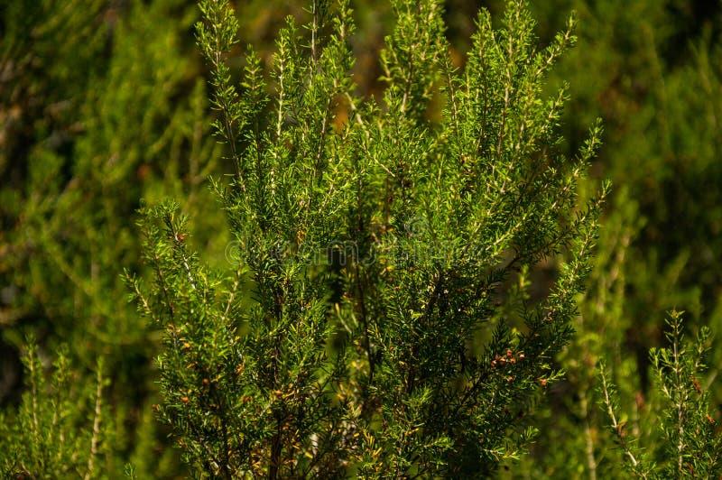 Ramo de pinheiro com suas folhas agulha-dadas forma típicas fotografia de stock royalty free