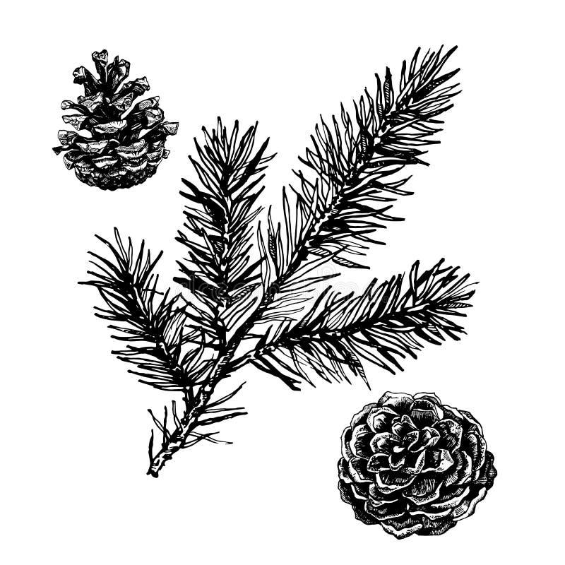 Ramo de pinheiro tirado mão ilustração do vetor