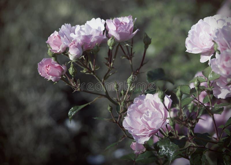 Ramo de rosas cor-de-rosa no jardim foto de stock