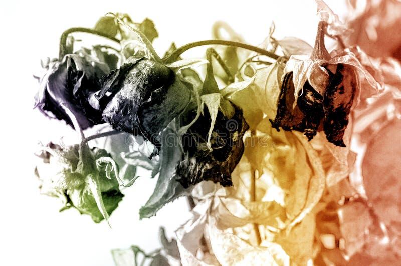Ramo de rosas secadas con las hojas verdes secadas imagenes de archivo