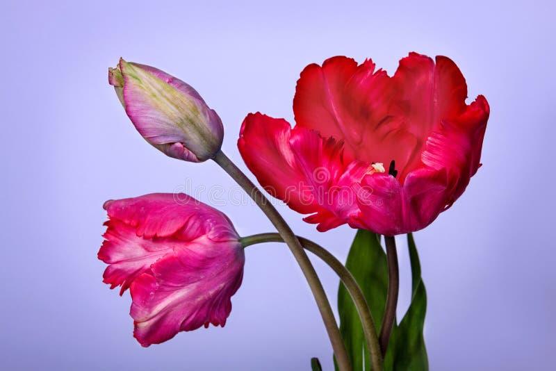 Ramo de tulipanes fotos de archivo
