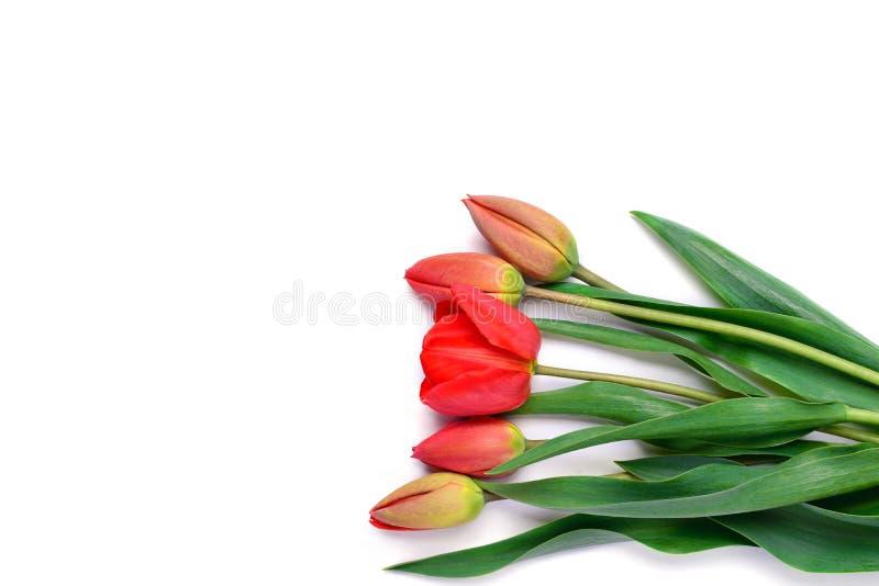 Ramo de tulipanes rojos aislados en el fondo blanco imágenes de archivo libres de regalías