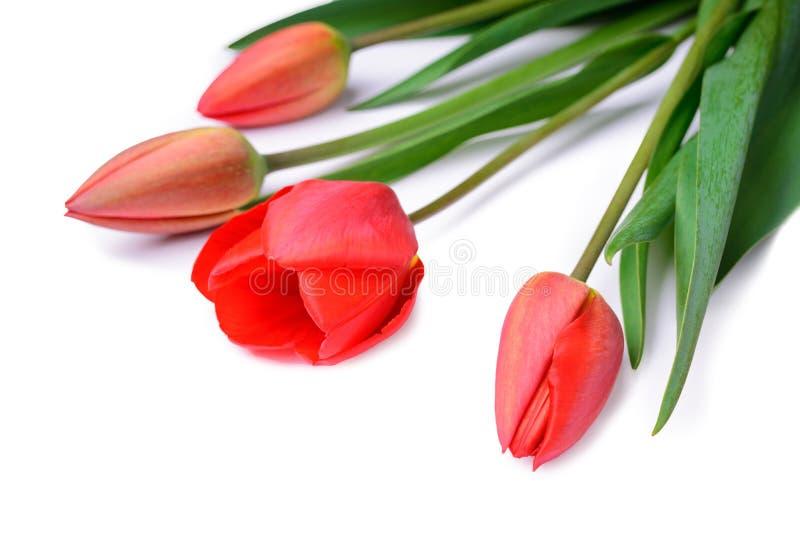 Ramo de tulipanes rojos aislados en el fondo blanco imagen de archivo