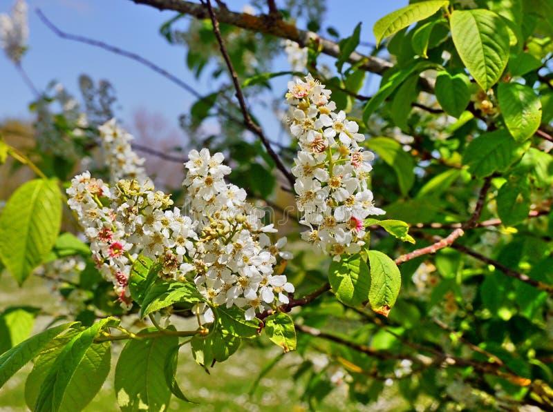 Ramo de uma árvore de castanha com flores, facilmente estames visíveis, pistilos, pétalas, imagens de stock royalty free