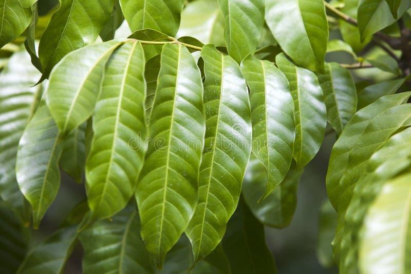 Ramo de uma árvore com folhas verde-clara, profundidade pequena dos patens de Cleistopholis de afiado fotografia de stock