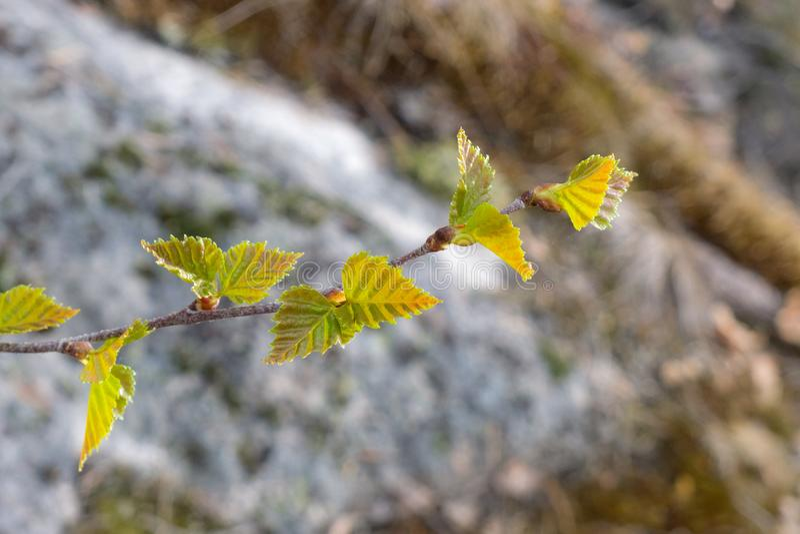 Ramo de uma árvore com folhas verdes imagens de stock