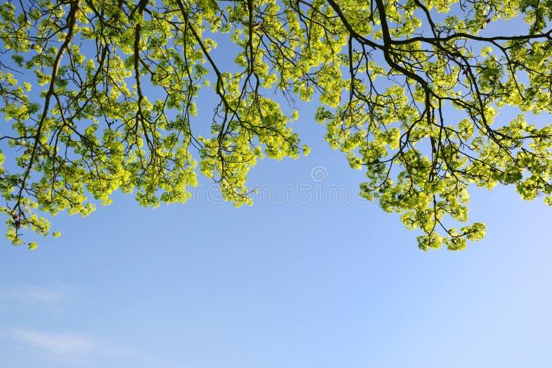 Ramo de uma árvore da mola com céu azul imagens de stock royalty free