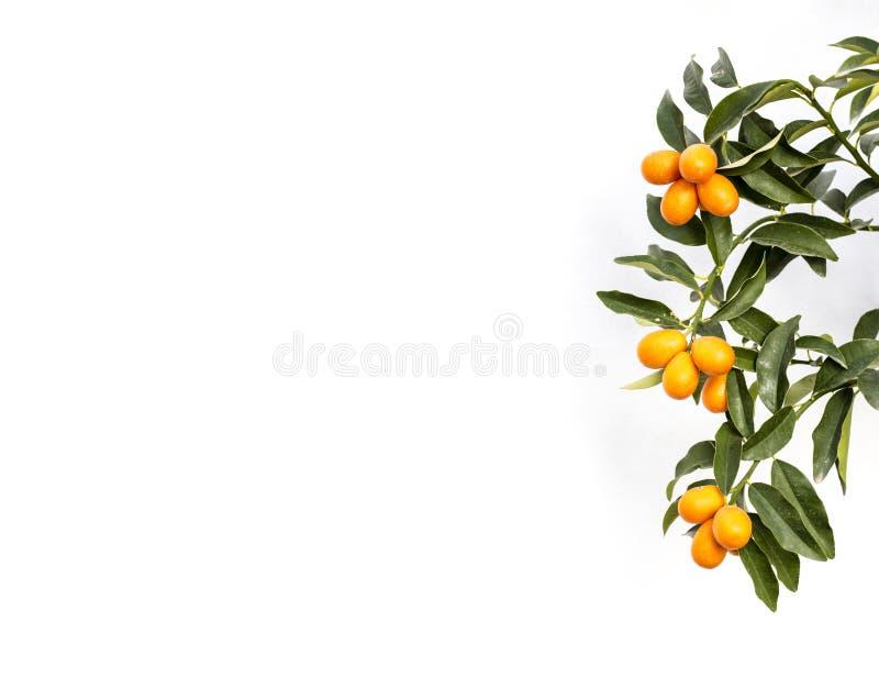 Ramo de uma árvore do cumquat do kumquat sobre o fundo branco imagem de stock royalty free