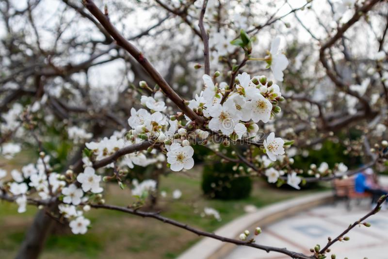 Ramo de uma árvore de florescência com as flores brancas bonitas foto de stock