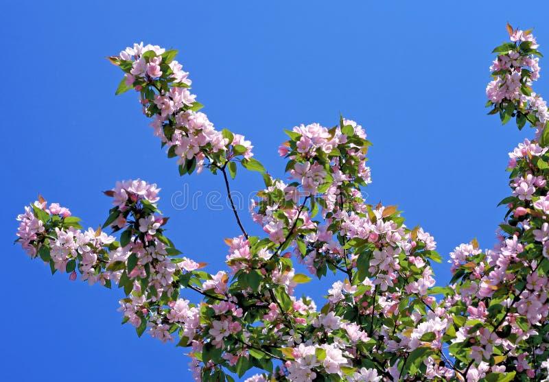 Ramo de uma árvore de florescência no céu azul fotos de stock royalty free