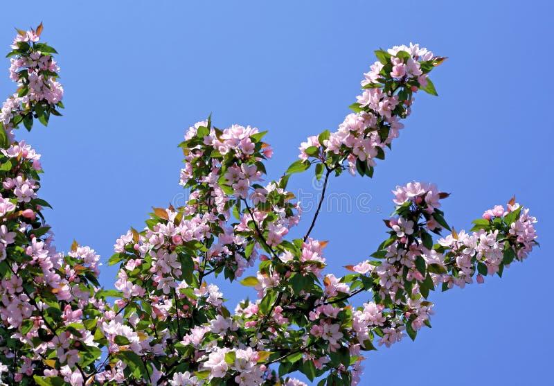 Ramo de uma árvore de florescência no céu azul fotografia de stock royalty free